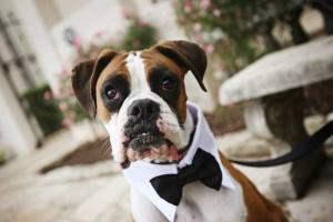 Boxer in a tuxedo