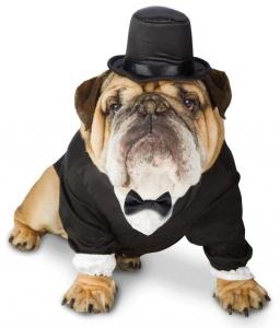 Bulldog in a tuxedo